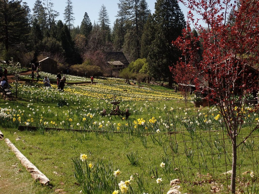 Daffodil Hill, in Amador County, California By Vince Migliore, CC BY 3.0
